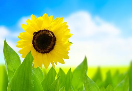 sunflower and perfect day Stock Photo - 5224652