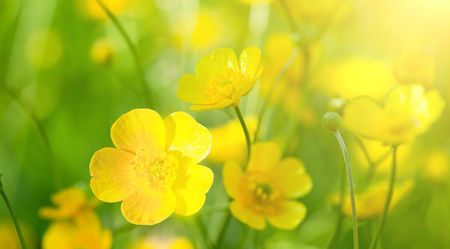 buttercup: buttercup flowers and summer day