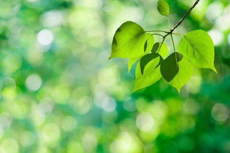 leaves of poplar photo