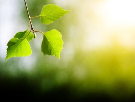bladeren van de berk in diepe woud