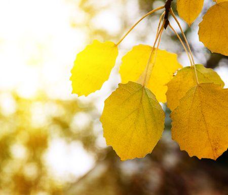 autumn yellow leaves of aspen photo