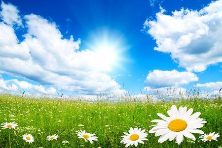 campo de margaritas: campo de flores de verano y perfecto cielo