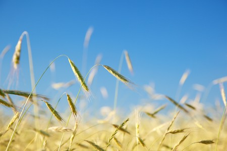 field of rye and sunny day Stock Photo - 7577366