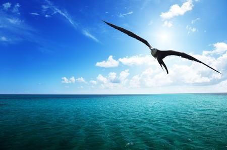 albatross and caribbean sea photo