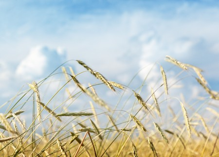 field of wheat and sunny day Stock Photo - 7784806