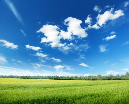 haver veld: Oat veld en zonnige hemel