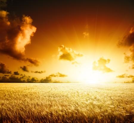 cebada: campo de cebada y puesta de sol