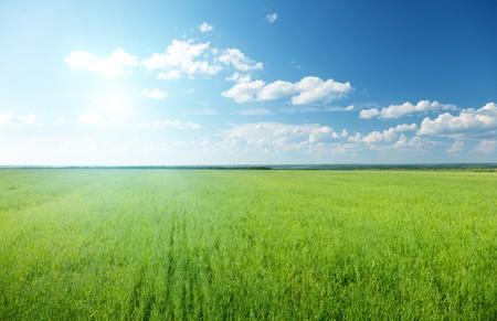 haver veld: haver veld en zonnige hemel