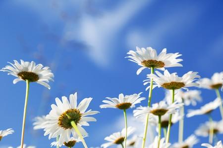 daisy flowers Stock Photo - 7885232
