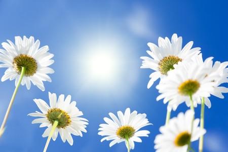 daisy flowers Stock Photo - 7885230