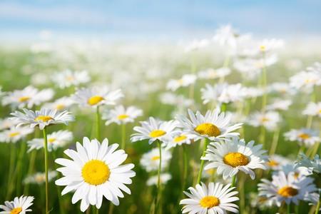 daisy flower: field of daisy flowers