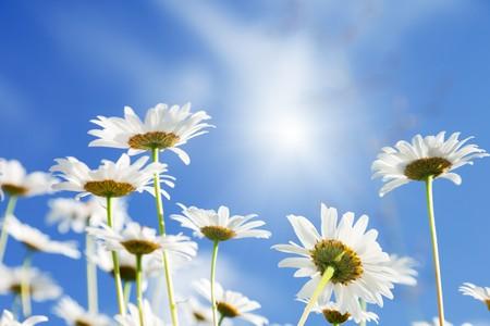 daisy flowers Stock Photo - 8084752
