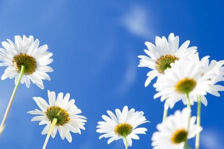 daisy flowers Stock Photo - 8084753