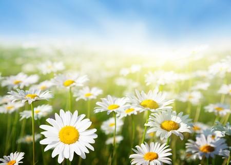 field of daisy flowers Stock Photo - 8084750