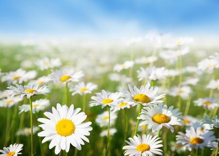 field of daisy flowers Stock Photo - 8138436