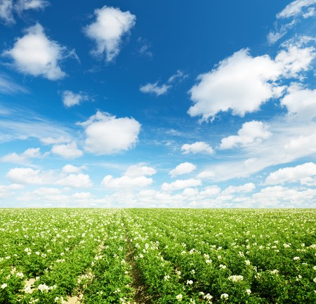 potatos field and sunny summer day photo