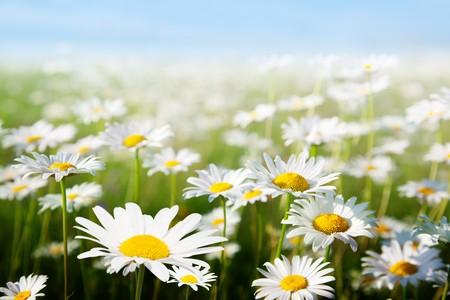 campo dei fiori a Margherita
