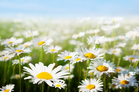 daisies: field of daisy flowers