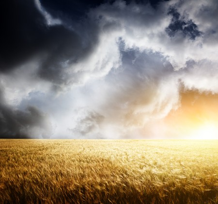 field of barley and sunset Stock Photo - 8240974