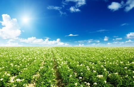 flowers field: potatos field and sunny summer day