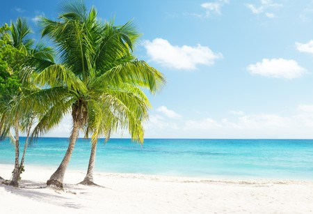 beach palm: Caribbean sea and coconut palms