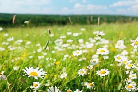 field of daisy flowers Stock Photo - 8240959