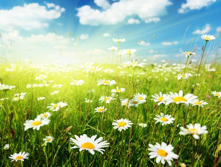 field of daisy flowers Stock Photo - 8240980