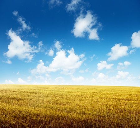 field of barley and sunny day Stock Photo - 8347190