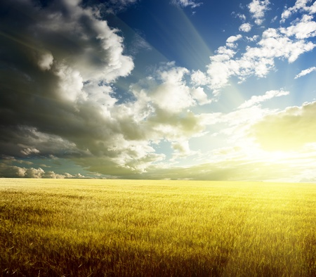 field of barley and sunset Stock Photo - 8347204