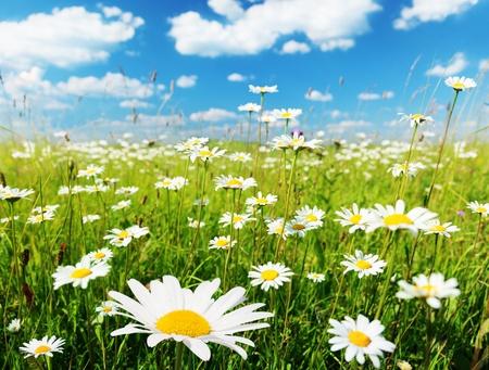 field of daisy flowers Stock Photo - 8347158