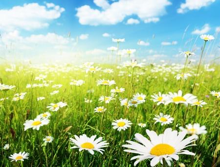 field of daisy flowers Stock Photo - 8347156