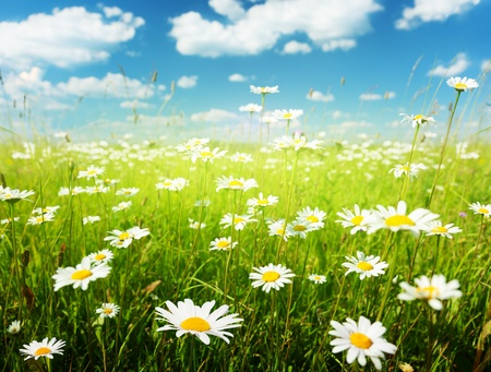 field of daisy flowers Stock Photo - 8347191