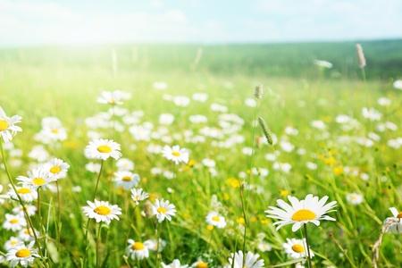 campo de margaritas: campo de flores silvestres Foto de archivo