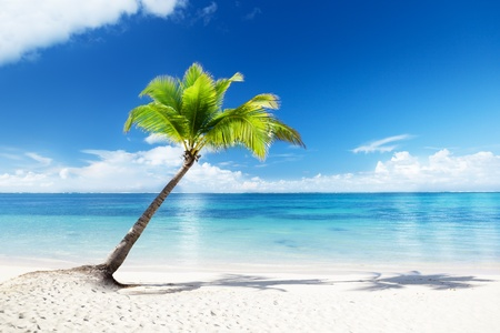 coconut palm tree: palm and beach