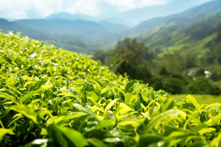 Tea (shallow DOF) plantation Cameron highlands, Malaysia photo