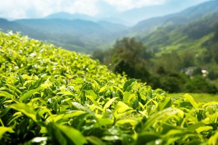 Tea (shallow DOF) plantation Cameron highlands, Malaysia photo