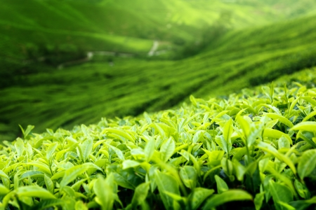 Tea plantation Cameron highlands, Malaysia (shallow DOF) Stock Photo - 9641770