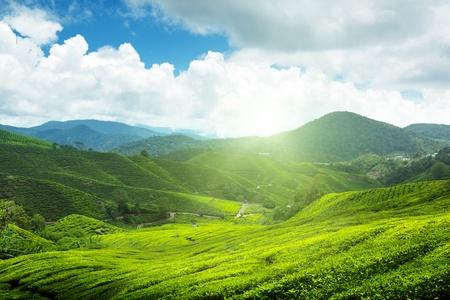 차 농장 카메론 하이랜드, 말레이시아 스톡 콘텐츠