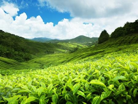 Tea plantation Cameron Highlands, Malasia Foto de archivo - 9911886