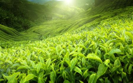 teepflanze: Teeplantage Cameron Highlands, Malaysia