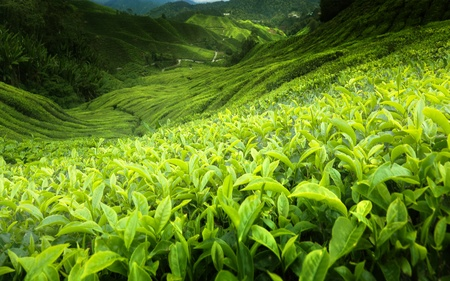 Tea plantation Cameron highlands, Malaysia Stock Photo - 9908600