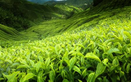cameron highlands: Tea plantation Cameron highlands, Malaysia Stock Photo