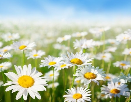 campo de margaritas: campo de Margarita flores