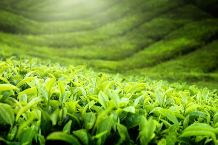 tea plantation: Tea plantation Cameron highlands, Malaysia Stock Photo