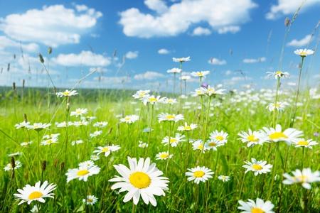 campo de margaritas: campo de flores de verano