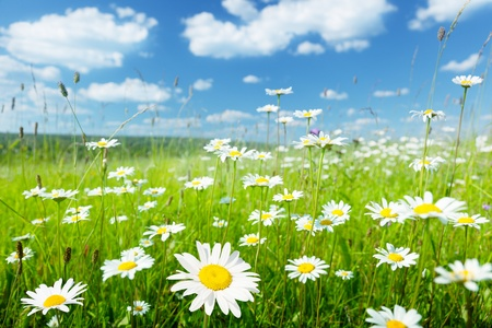 landscape: field of summer flowers