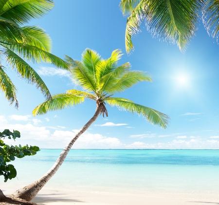 coconut leaf: palms on Caribbean beach
