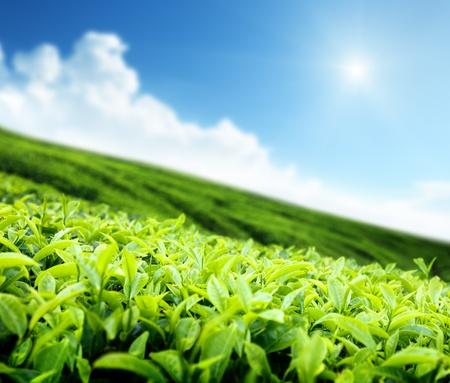 茶畑 写真素材 - 10725269