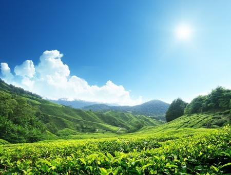 Teeplantage Cameron Highlands, Malaysia Standard-Bild