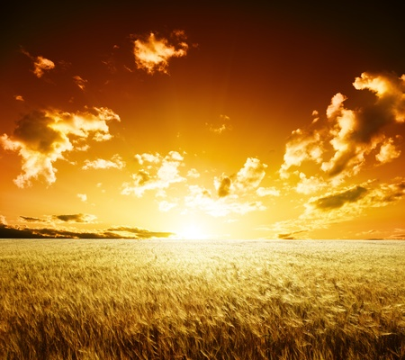 farmlands: field of barley and sunset